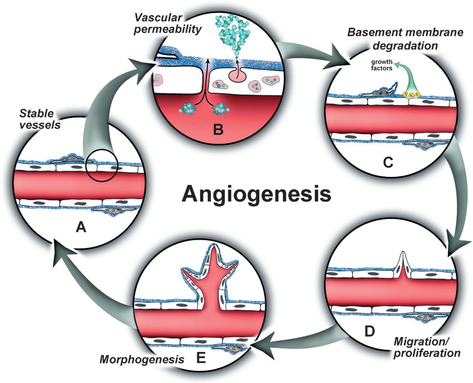 The angiogenic cascade. (Bryan B A, & d'Amore P A., 2007)