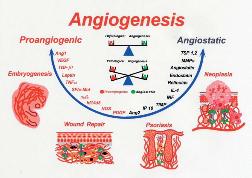 The balance between pro-angiogenic and anti-angiogenic agents in health and disease. (Polverini P J., 2002)