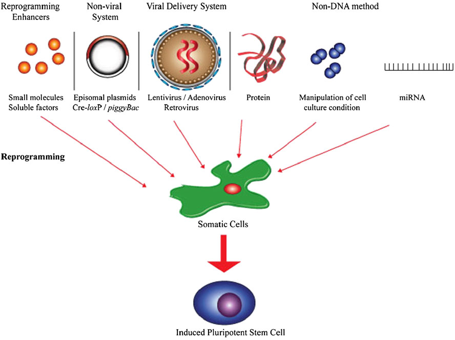 Figure 1. The current reprogramming strategies used to induce pluripotent stem cells from adult somatic cells. (Lai M I, et al., 2011)