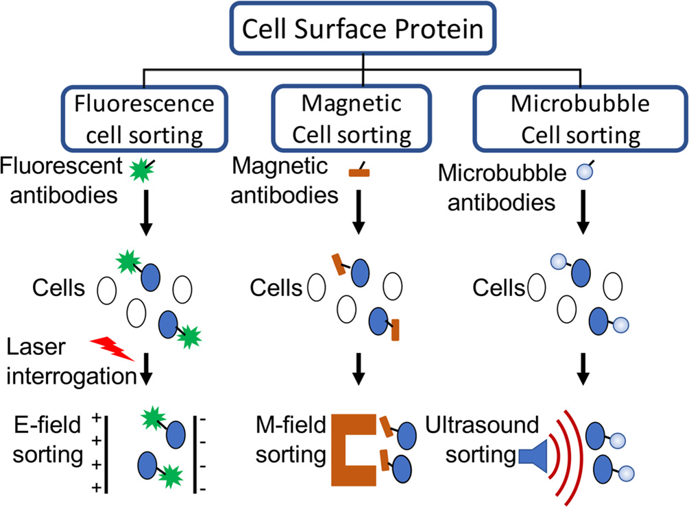 Cell purification methods based on cell surface antigen expression. (Matula T J, et al., 2018)