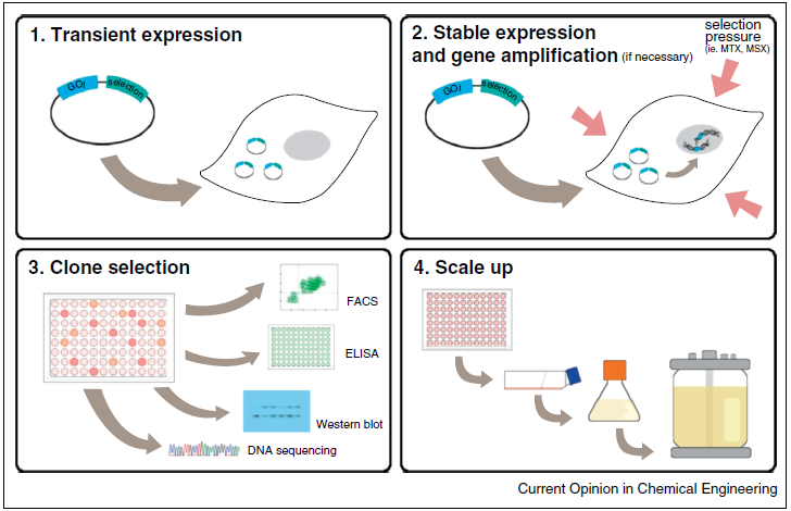 Representative illustration of cell line development scheme. (Noh, S. M., et al. 2013)