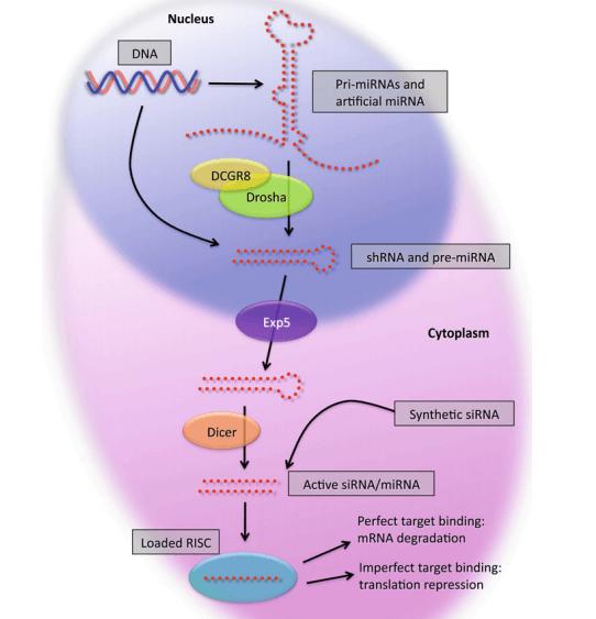 Cellular processing of shRNAs and miRNAs. (Lambeth L S, et al. 2013)