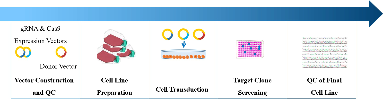 Gene knockin stable cell construction service process. - Creative Bioarray