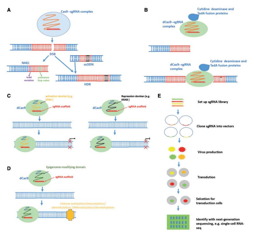 Applications of CRISPR/Cas9 technology. (Zhang C, et al. 2018)
