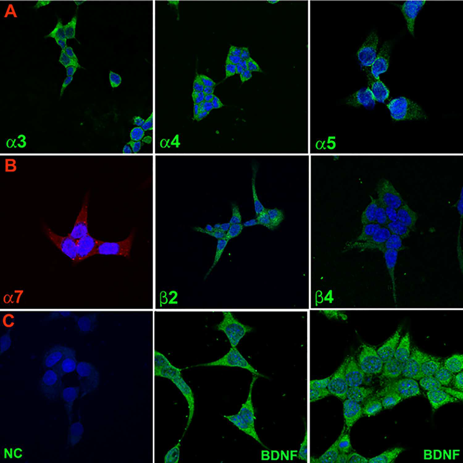 Immunofluorescence staining of nAChR subunits and BDNF in STC-1 cells. (Qian J, et al., 2016)