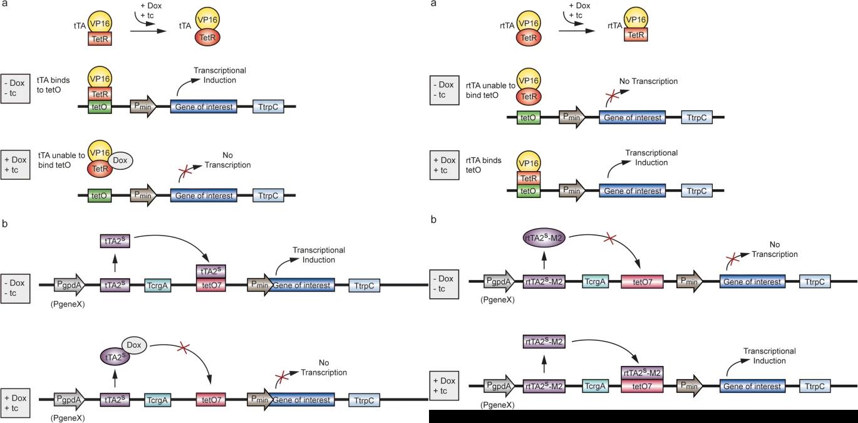 Schematic diagram of the eukaryotic Tet system (left: Tet-Off expression system; right: Tet-On expression system). (Kluge J, et al. 2018)