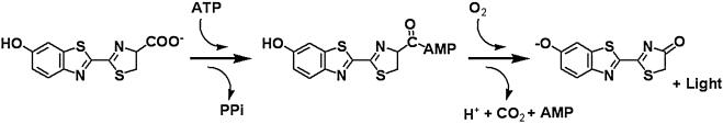 Chemical reaction catalyzed by firefly luciferase. (Fan F, & Wood K V., 2007)