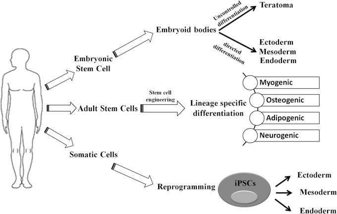 Figure 1. Schematic representation of differentiation process of embryonic stem cell (ESC), adult stem cell (ASC), and induced pluripotent stem cells (iPSCs). (Singh R K, et al., 2014)