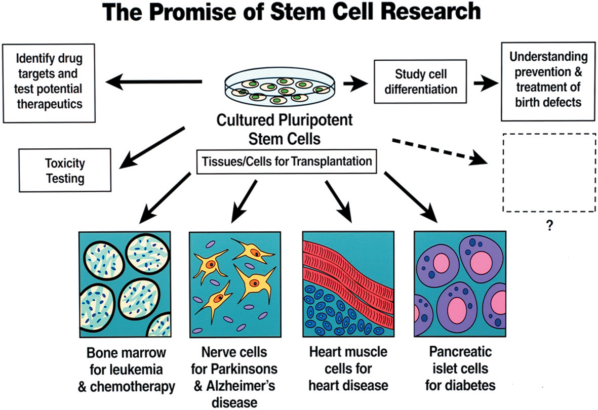 Figure 2. Diagram depicting the expected clinical applications of some stem cell research. (Telles P D, et al., 2011)