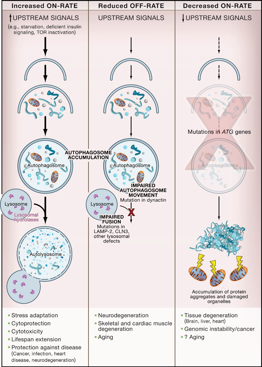 Alterations in Different Stages of Autophagy Have Different Consequences.