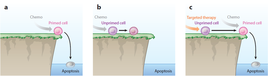 Apoptotic priming and cellular response to chemotherapy.