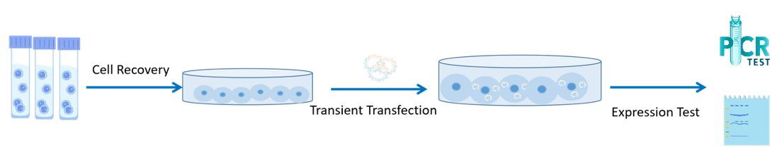 Our transient transfection and cell culture service process.