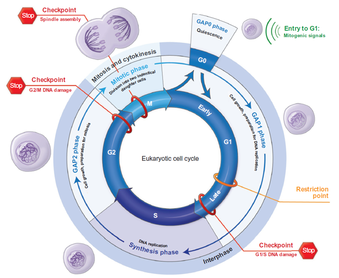 The cell cycle: different phases and major events.