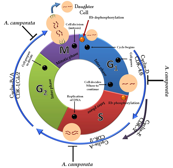 Schematic diagram of A. camphorata-induced cell cycle arrest in various cancer cells.
