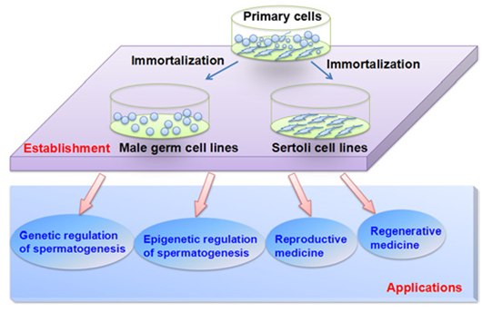 Schematic diagram illustrating the applications of male germ cell and Sertoli cell lines in basic studies and translation medicine.