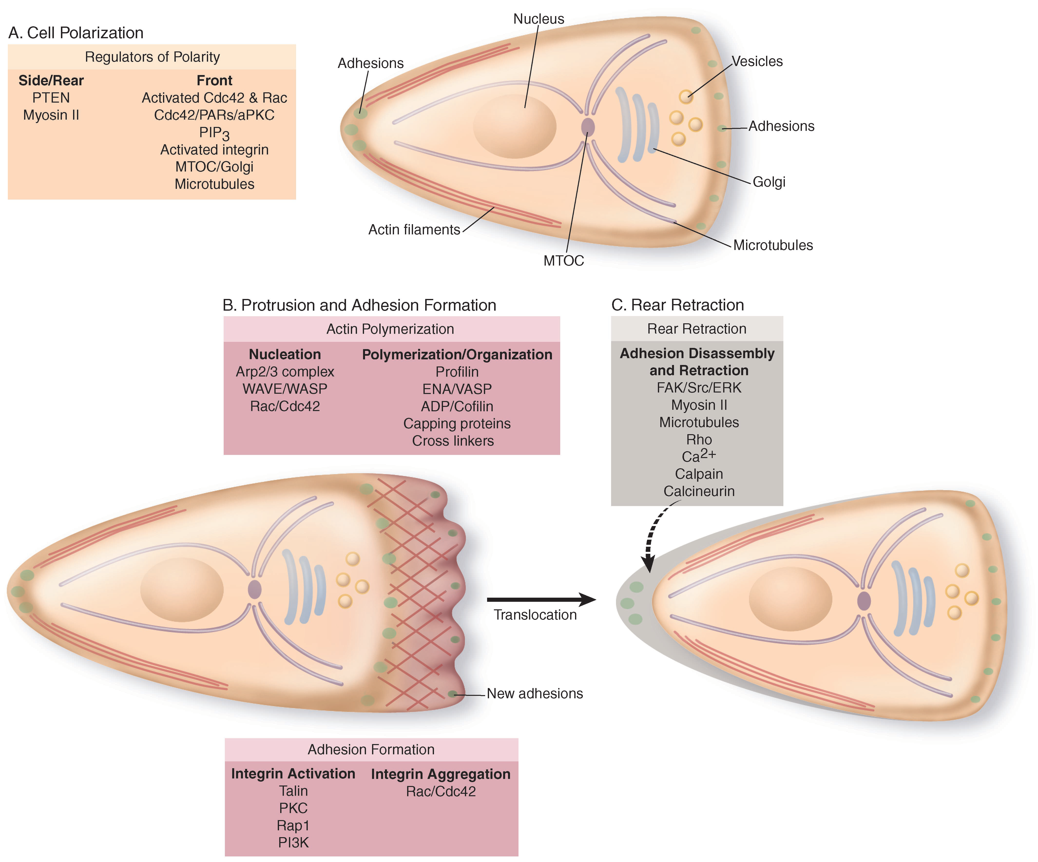 Steps in cell migration.
