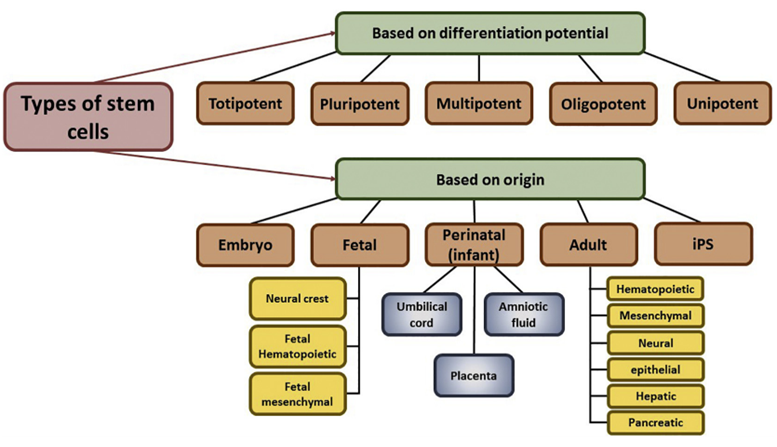Classification of stem cells.