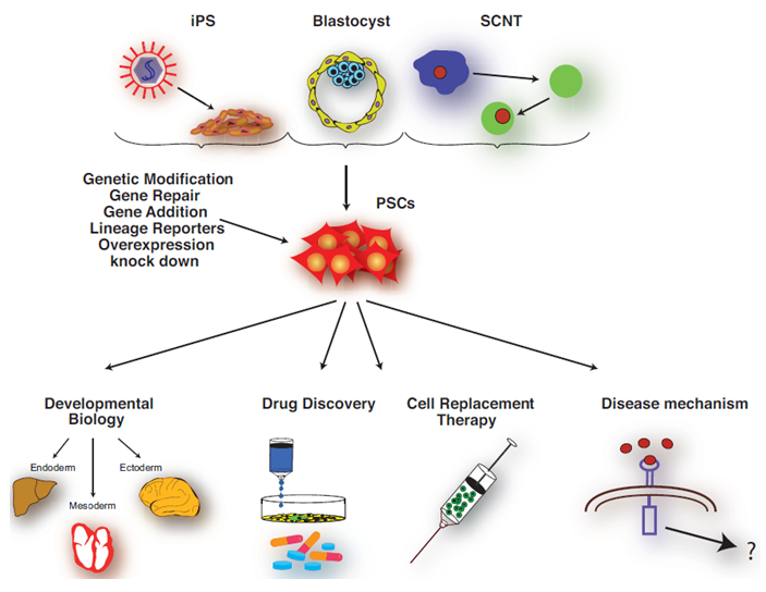 Pluripotent stem cell sources and their application.