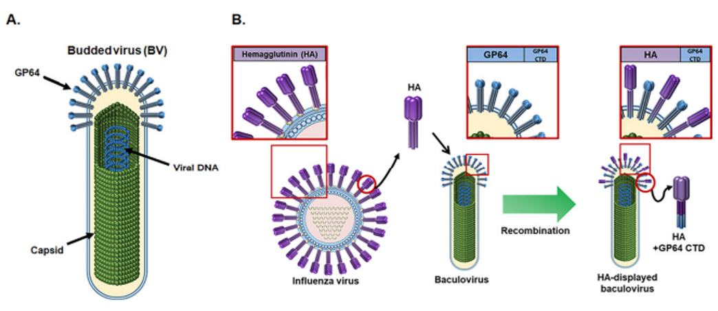 Baculovirus and display of foreign protein on the baculoviral surface envelope.