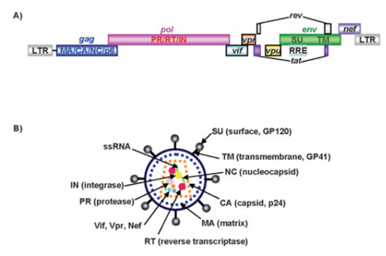 Schematic representation of the HIV-1 viral genome and structure of HIV-1 virion.